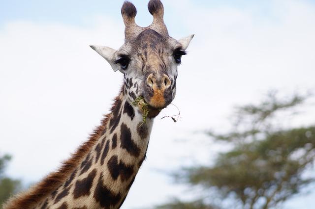 Kostenloses Foto Giraffe Essende Giraffe Hals