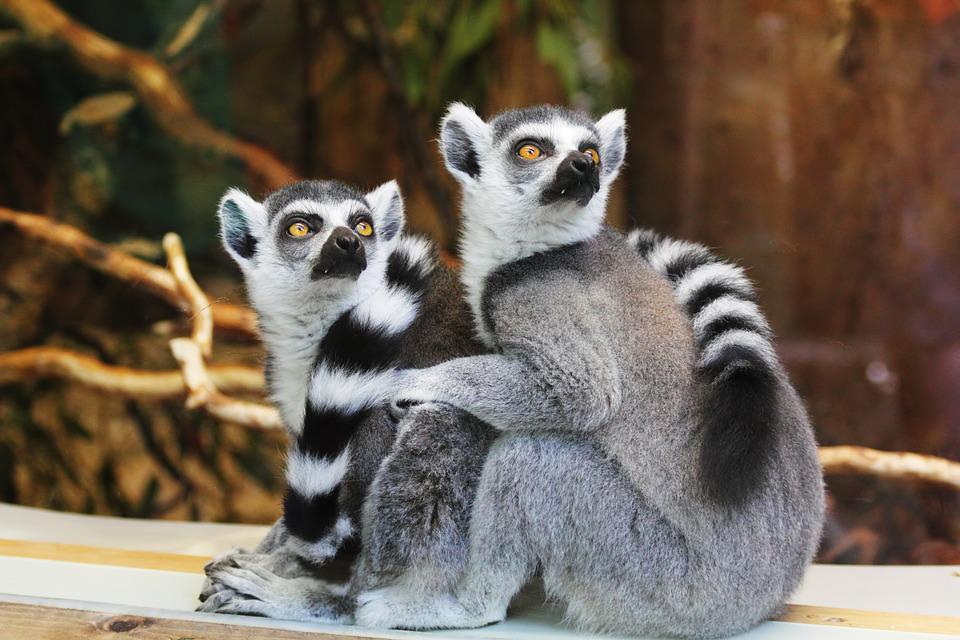 Animals, Lemurs, Wildlife, Zoo, Monkey, Mammal, African