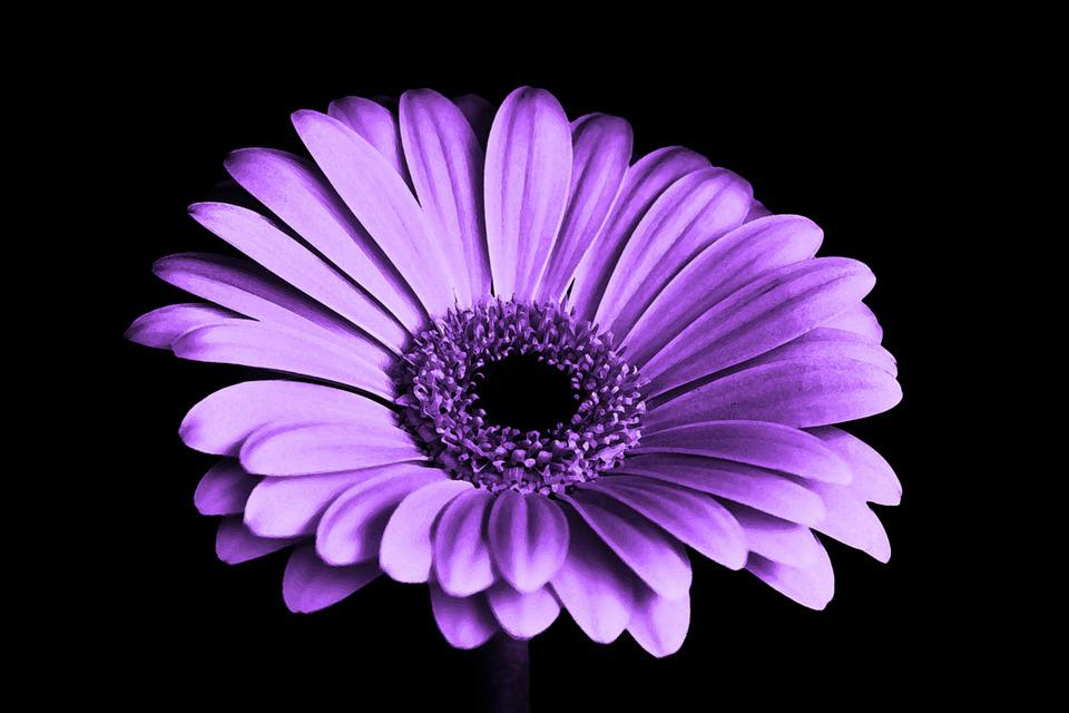 free photo purple, flower, chrysanthemum  free image on pixabay, Beautiful flower