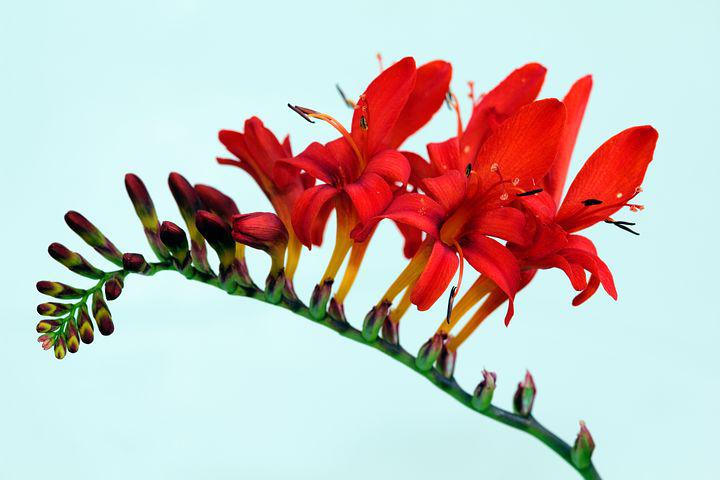 Цветок люцифер