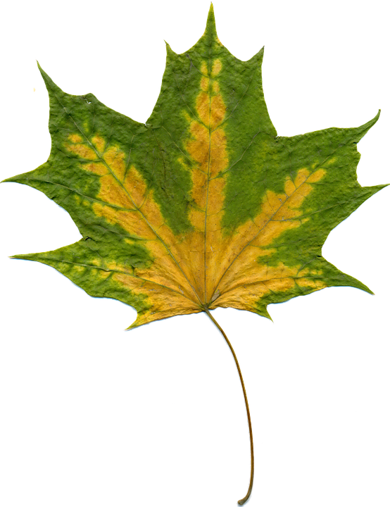 free photo sheet autumn leaves maple free image on. Black Bedroom Furniture Sets. Home Design Ideas