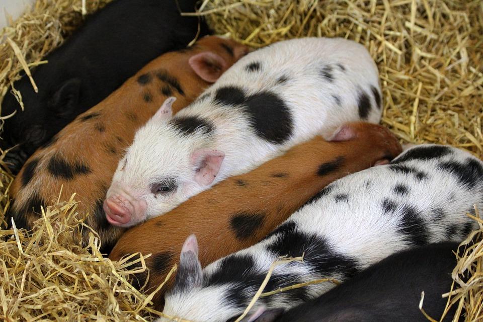 kostenloses foto  ferkel  tiere  schweine  bauernhof