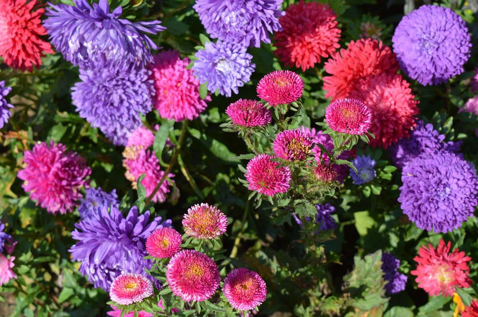 free photo asters, flowers, astra, flower  free image on pixabay, Natural flower