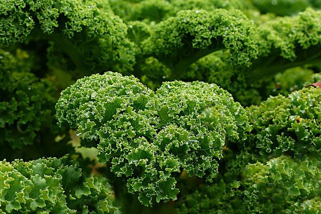 free photo  plant  kale - free image on pixabay
