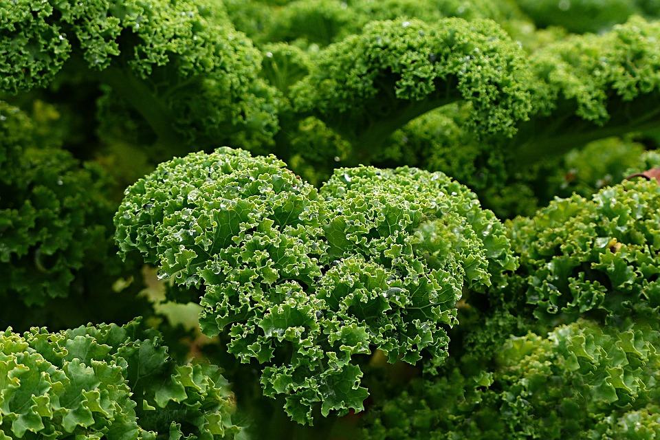 Free Photo Plant Kale Free Image On Pixabay 1011492