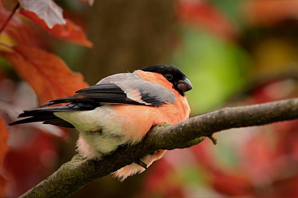 Ptak Gil Zwyczajny Gimpel Darmowe Zdjęcie Na Pixabay
