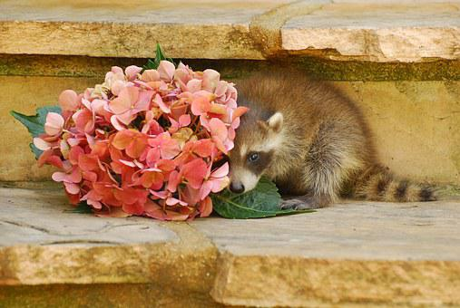 Wild Life, Baby Raccoon, Animal, Nature