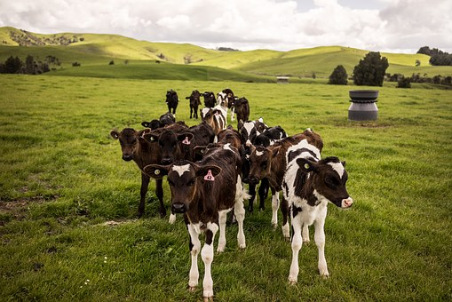 Image of herd of cattle in a green pasture