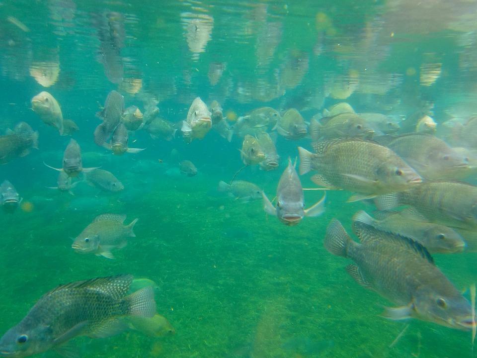 Ikan, Budidaya Ikan, Akuarium, Bawah Air