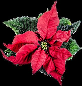 Stella Di Natale Da Stampare.1 000 Stella Di Natale E Natale Immagini Gratis Pixabay