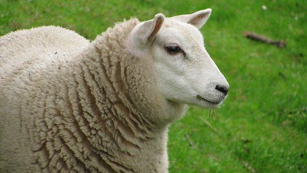 Sheep, Animal, Lana, Wool
