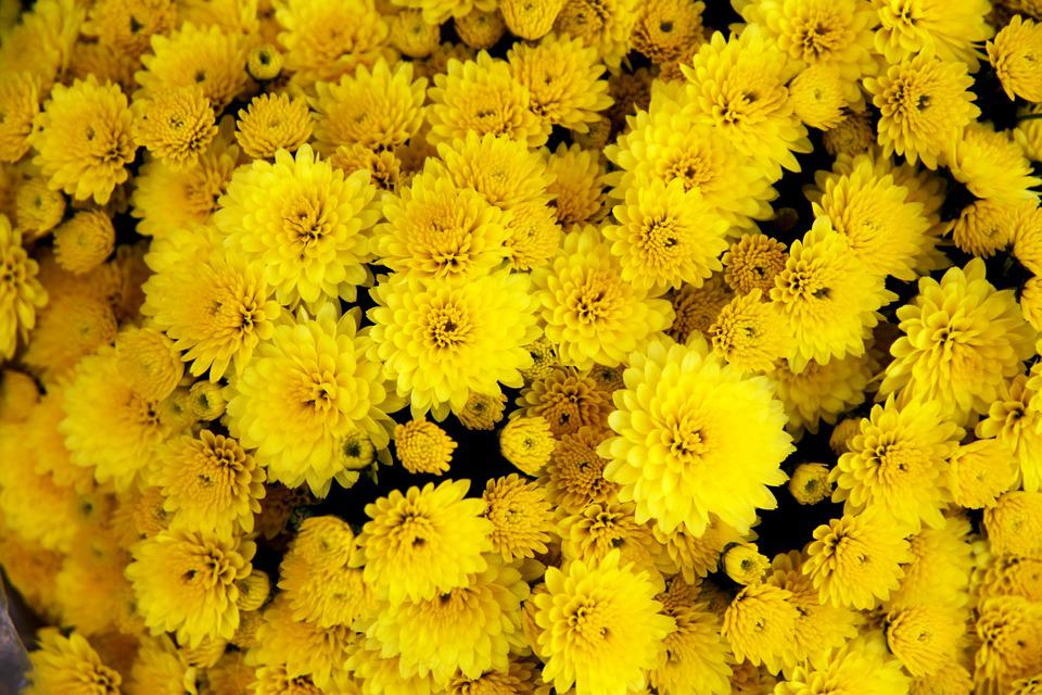 Yellow chrysanthemums images pixabay download free pictures chrysanthemum flower yellow bloom mightylinksfo