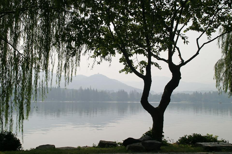 Free Photo China Tree Weeping Willow Leaves Free