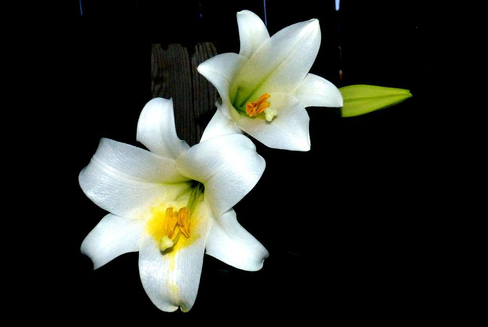 Flower Easter Lilly Blossom 183 Free Photo On Pixabay