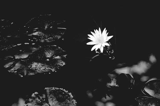 スイレン, ユリ, 水, 自然, 花, ホワイト, 黒と白