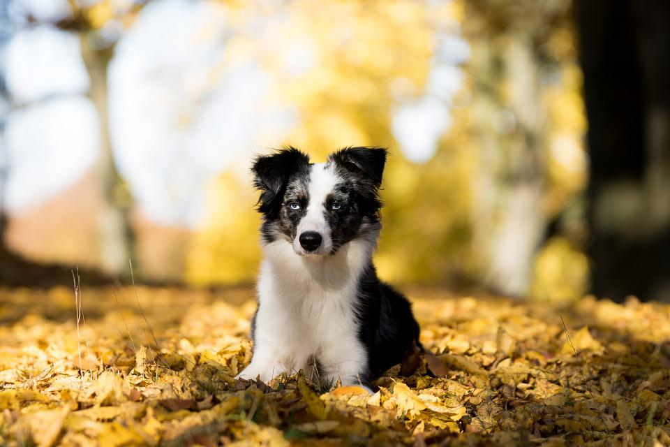 Free photo: Australian Shepherd Mini, Dog - Free Image on ...