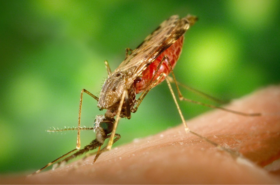 Malaria is carried by mosquitoes