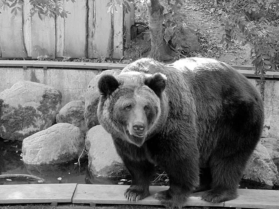 Black And White Bear : Free photo black and white bear zoo animal