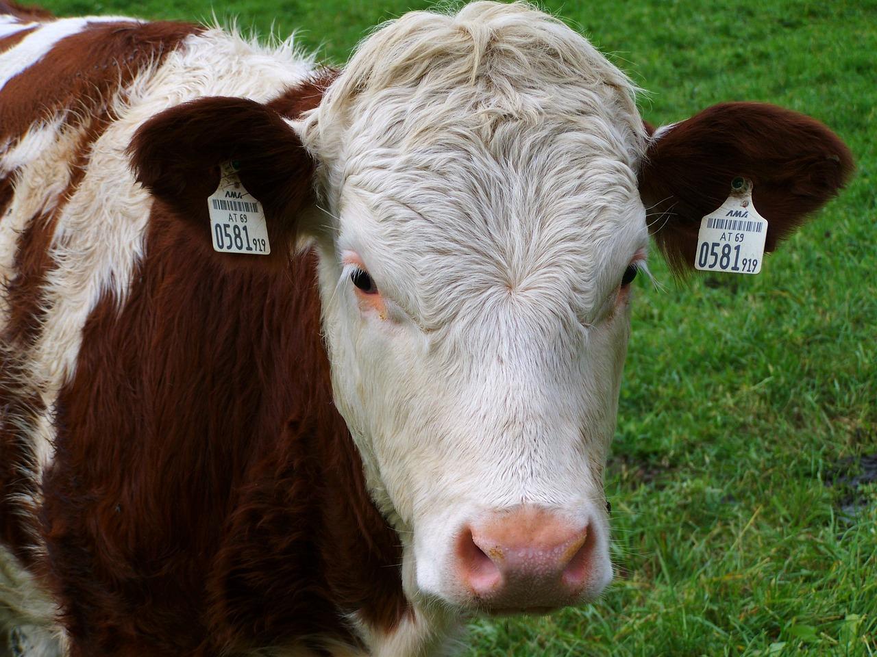 белые коровы фото который