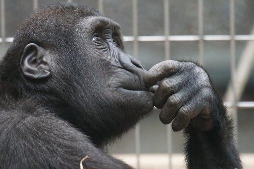 Primate, Singe, Pensée, Imiter, Vue