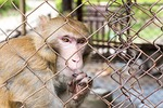 confined, monkey, cage