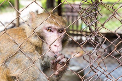 Confinado, Mono, Jaula, Animales, Cárcel