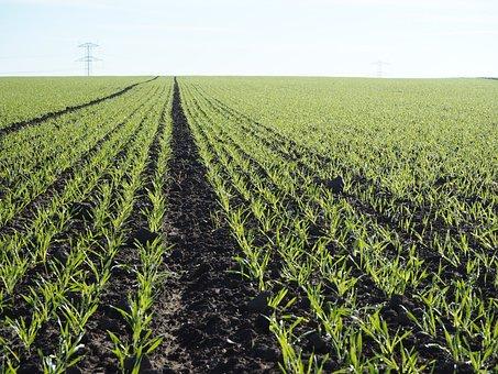 Agriculture, Wheat, Mark, Sprayer Tracks