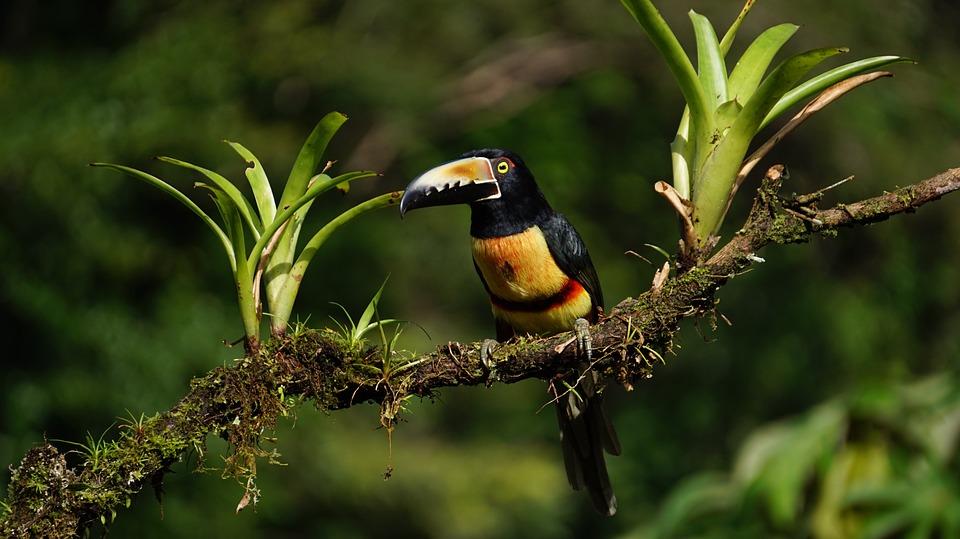 Araceri Collard, Costa Rica, Forêt Tropicale