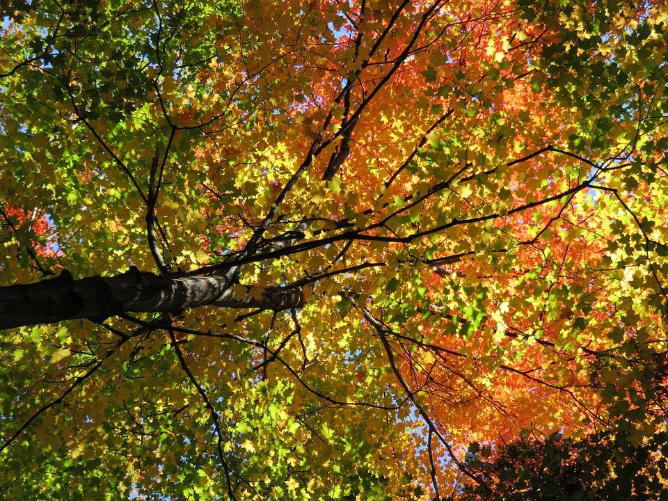 Sugar Maple Tree Tall Full size
