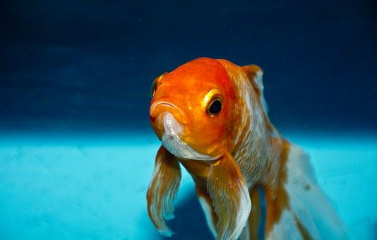Gold Fish Nature Water Animal Orange Goldf