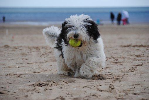 Dog, Beach, Puppy, Sheepdog, Sea, Sand