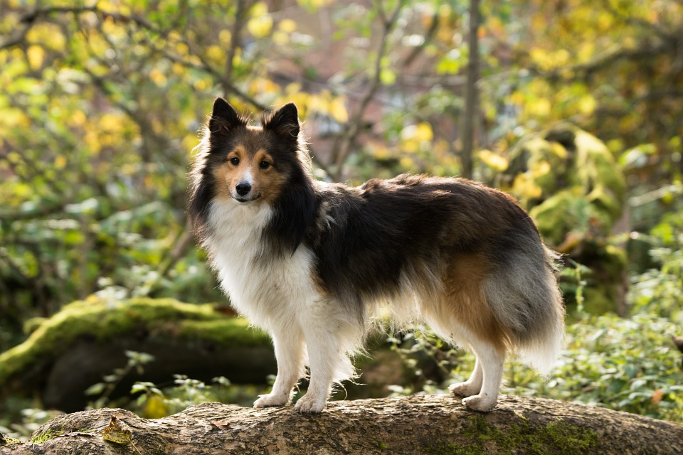 Image result for 犬 sheltie  美しい