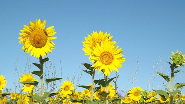 Summer Sunflowers Field 183 Free Photo On Pixabay