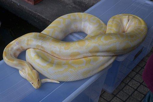 Snake, Boa Constrictor, Python, Reptile