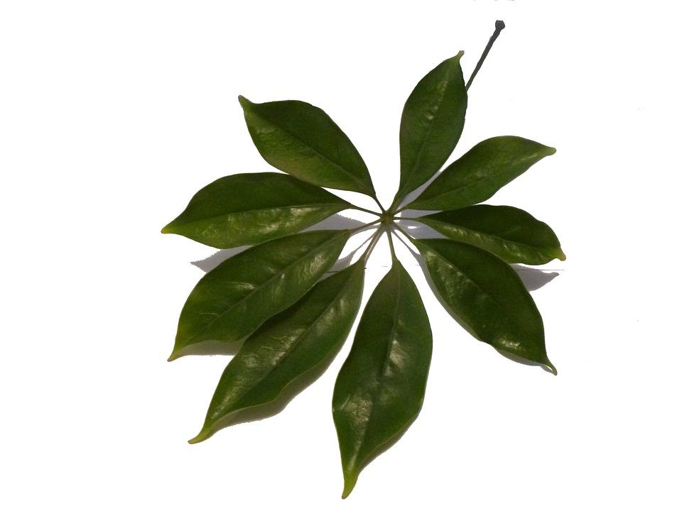 Schefflera feuille plante photo gratuite sur pixabay schefflera feuille plante vert une altavistaventures Image collections