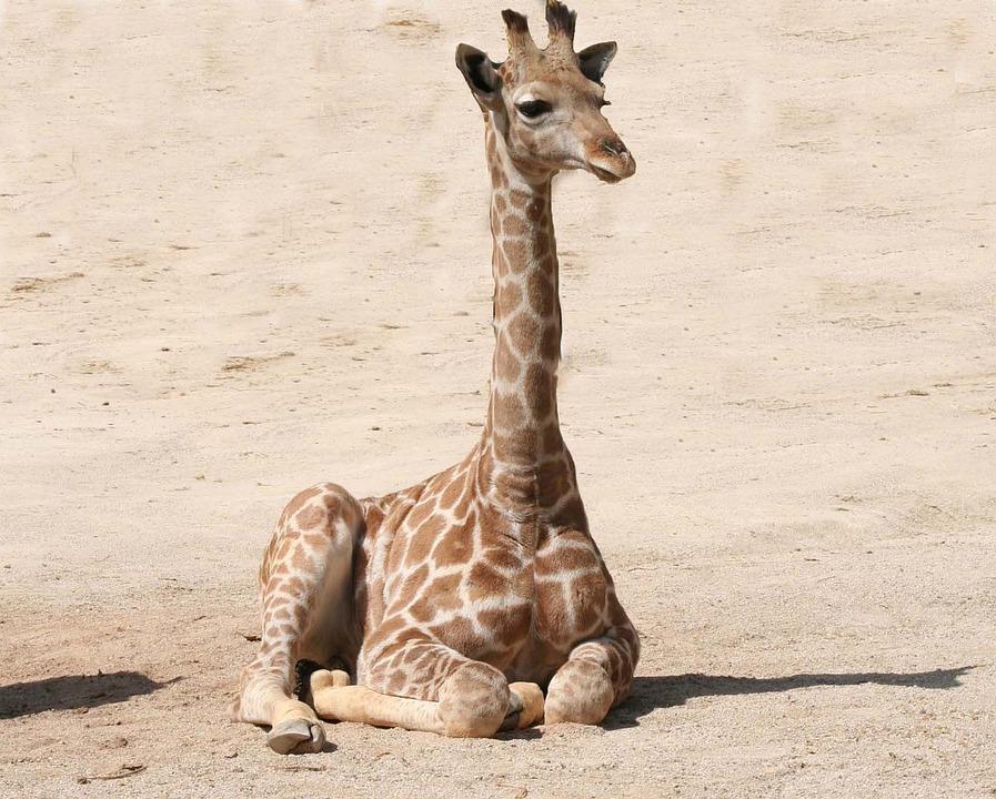 free photo giraffe baby giraffe mammal free image on