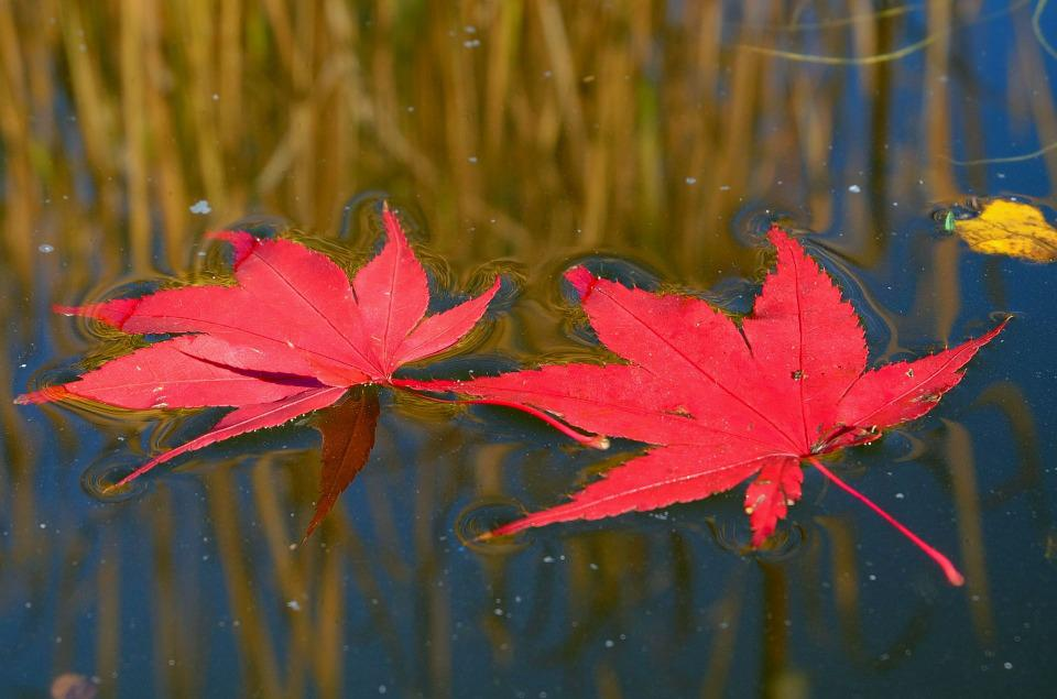 Fall Leaves Red Water · Free photo on Pixabay