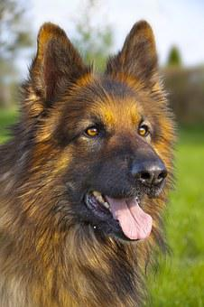 Dog, German Shepherd, Animal, Meadow