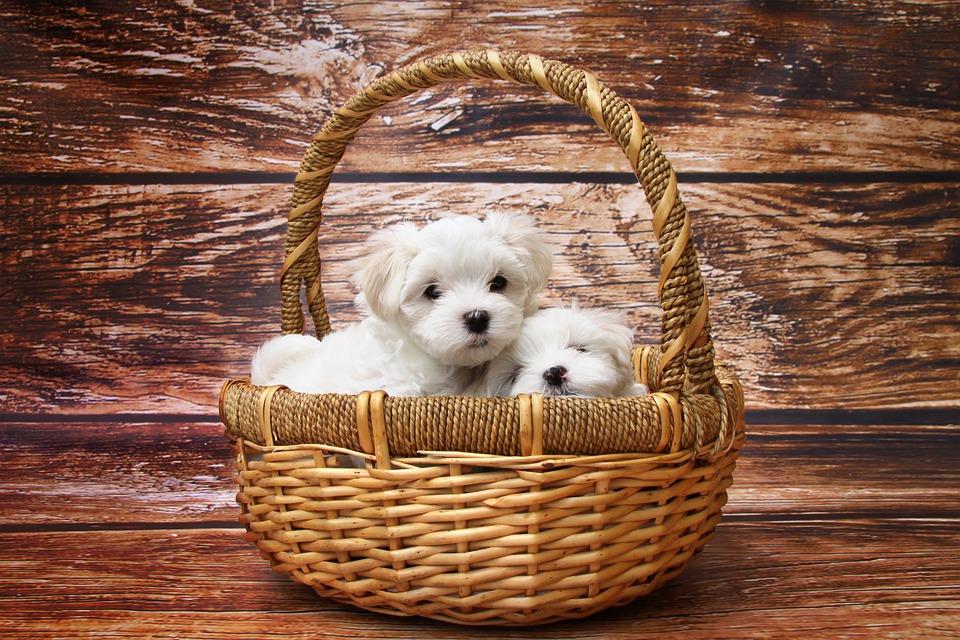 Dog, Maltese, Puppy, To Sleep, Sweet, Animal, Meadow