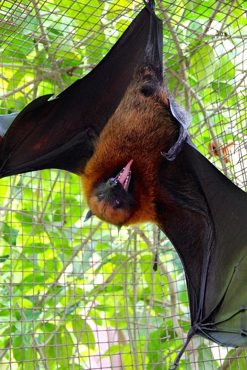 Flying Dog, Bat, Flying, Vampire, Halloween, Bats