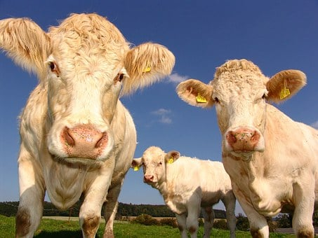 Cows, Curious, Cattle, Agriculture