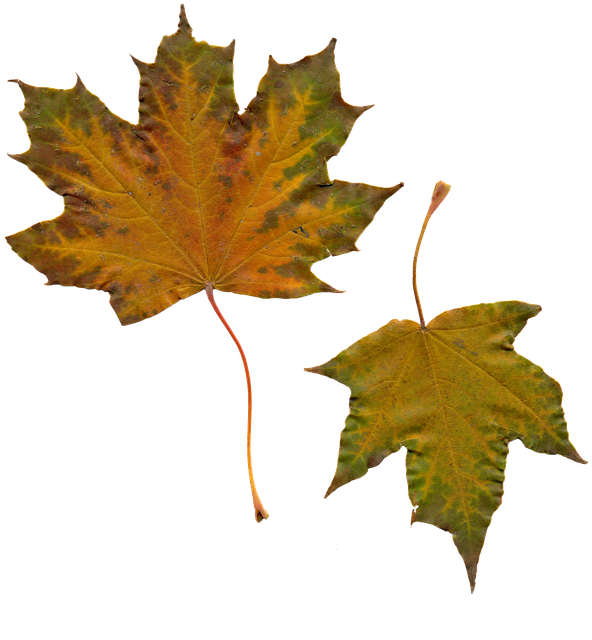 Free Photo: Leaves, Sheet, Maple, Autumn Leaves