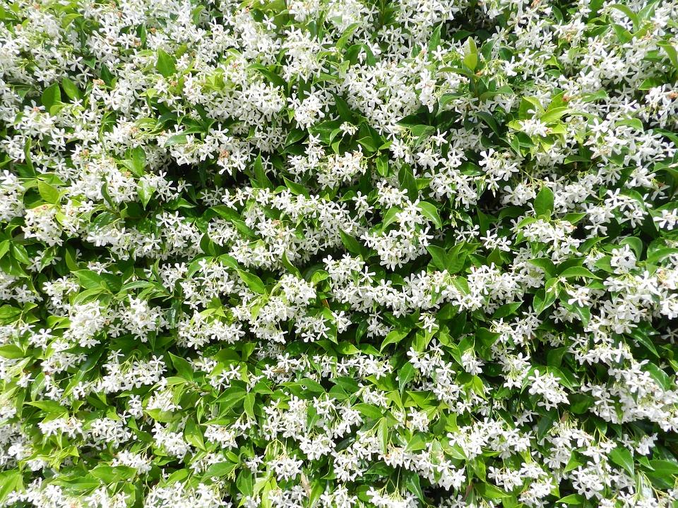 Ilmaisen valokuvan puutarha jasmiini kukat ilmainen for Gelsomino potatura