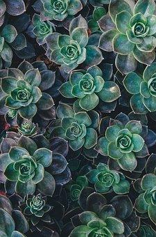Succulent, Escheveria, Plant