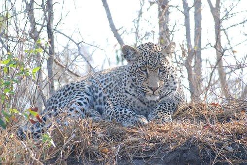 Leopard, Africa, Animal, Wild, Cat