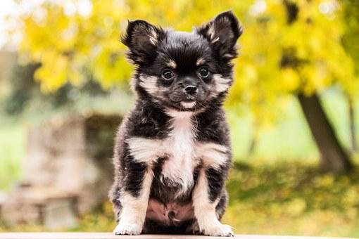 Chihuahua, Dogs, Animals, Puppies, Cute