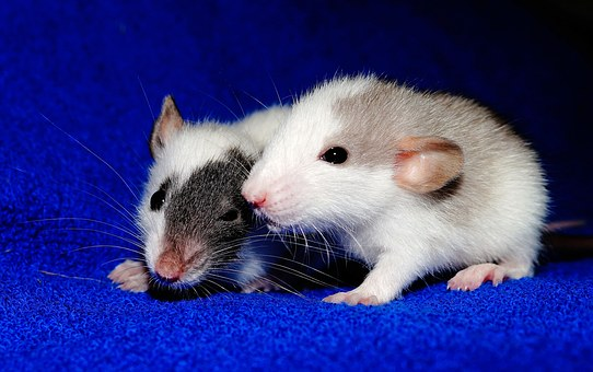 Rat, Young Animals, Playful, Sweet, Cute