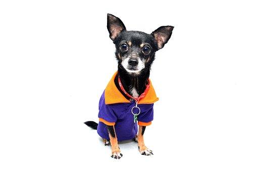 Dog, Chihuahua, Animal, Pet, Funny, Cute