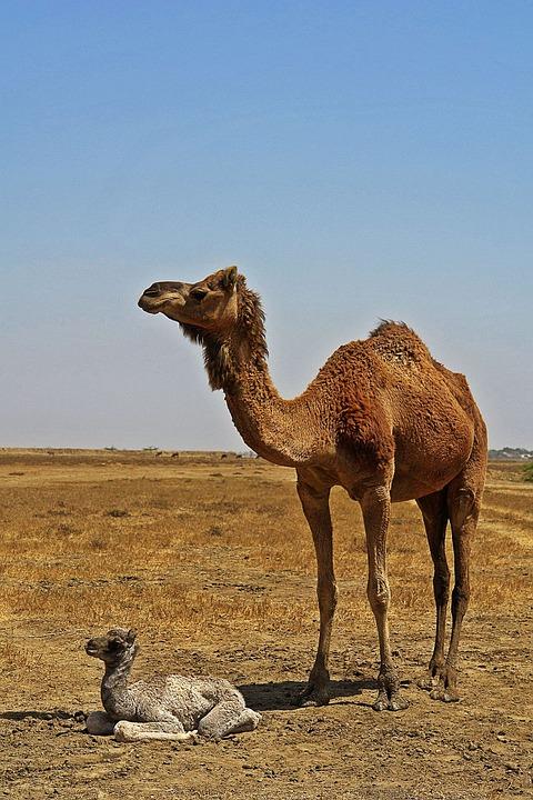 animals camel desert free photo on pixabay