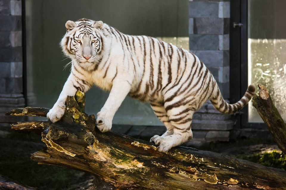 White Tiger Animal Feline 183 Free Photo On Pixabay